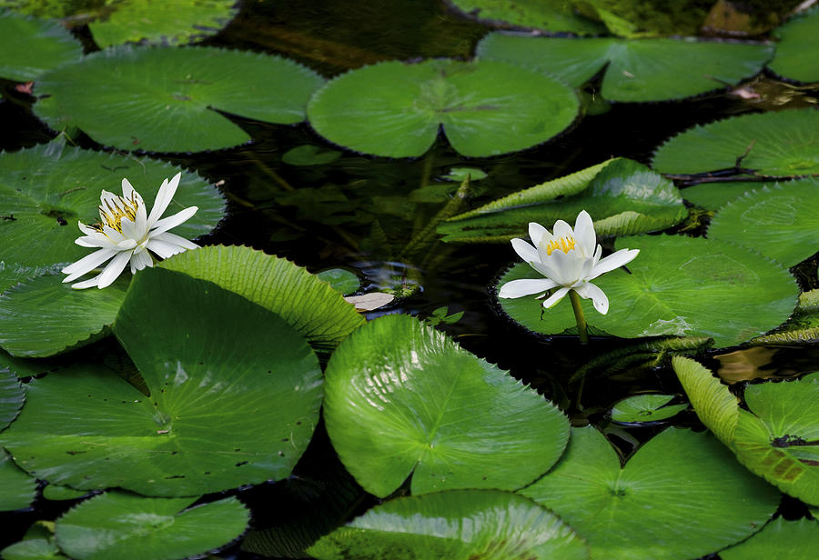 Lily Pads And Blossoms Photograph