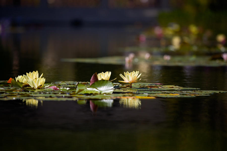 Waterlily Photograph - Lily Pond by Peter Tellone