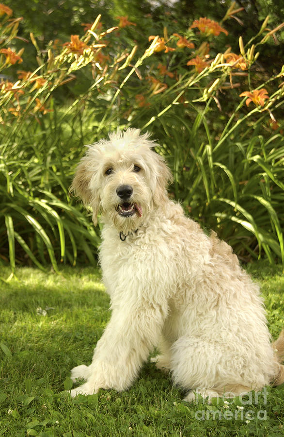 Lily The Goldendoodle With Daylilies Photograph
