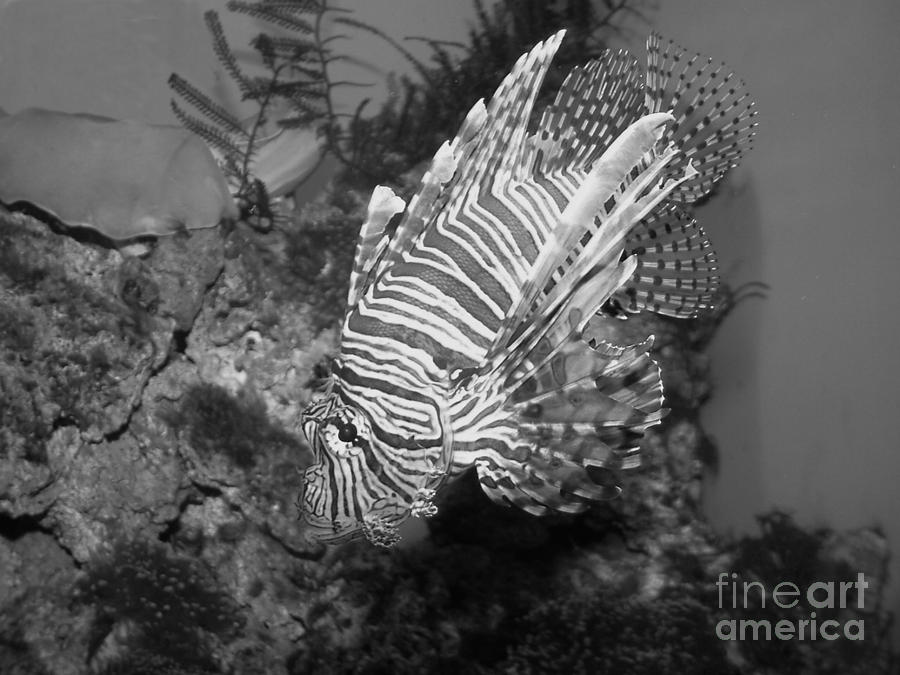 Lion Fish Black And White Photograph