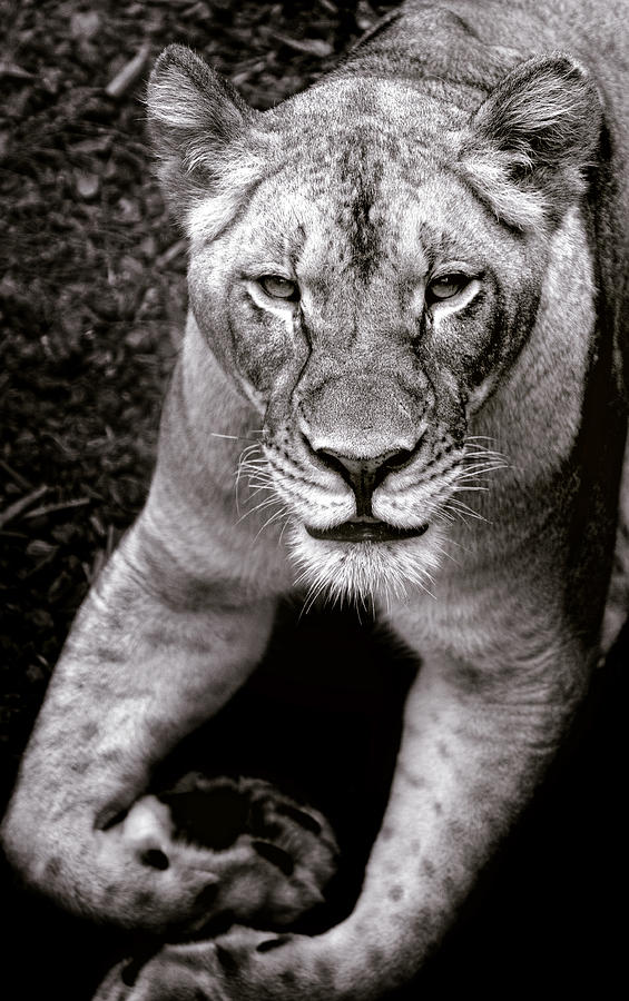 Lioness Black And White Photograph