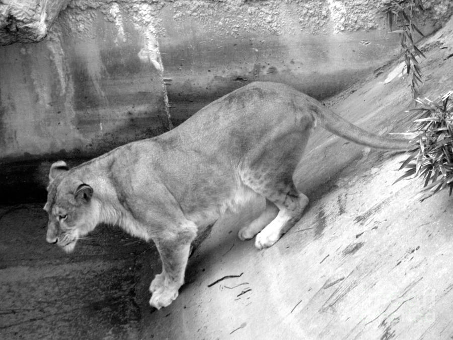 Lioness Black And White Photograph by Joseph Baril