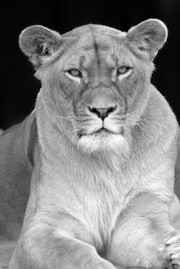 Lioness In Black And White Photograph by Clint Buhler