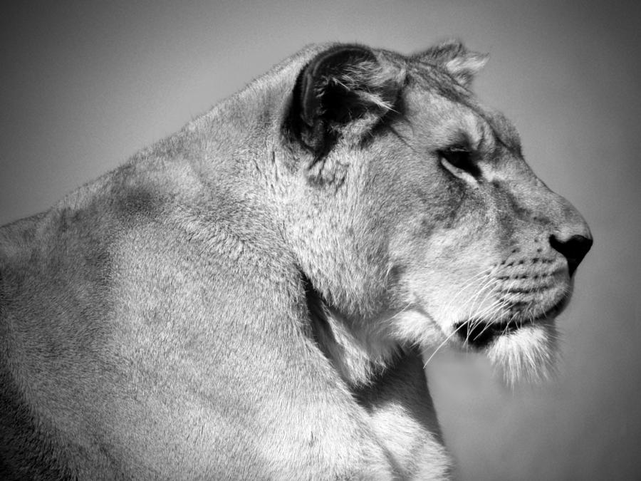 Lioness In Black And White Photograph by Lynn Bolt