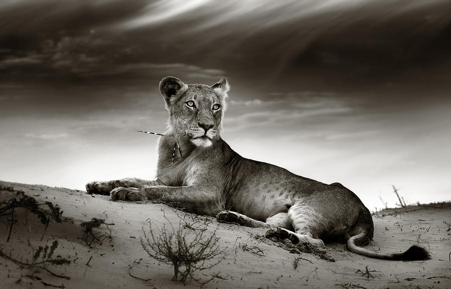Lioness On Desert Dune Photograph
