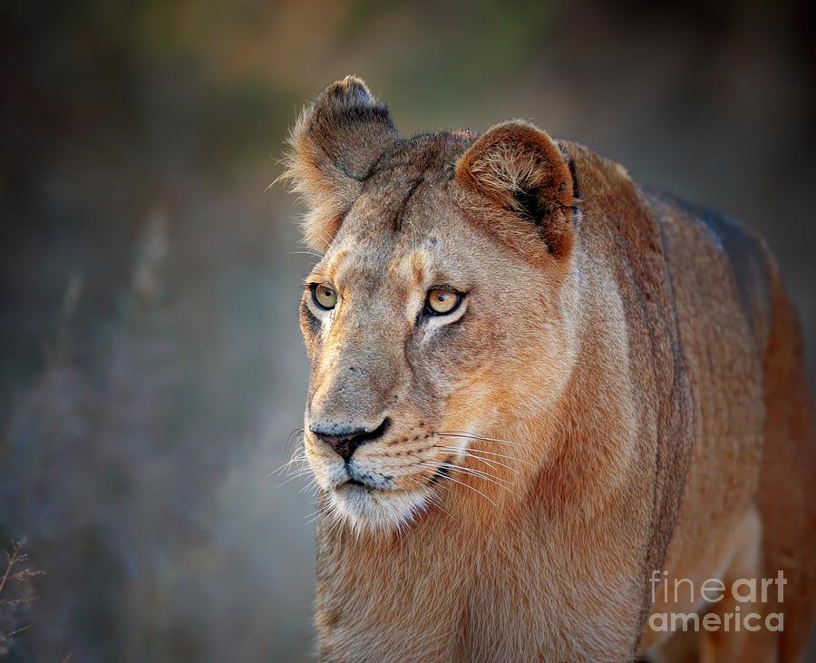 Lioness Portrait Front View Photograph