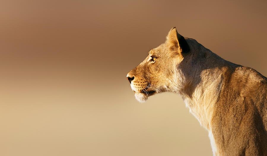 Lioness Portrait Photograph