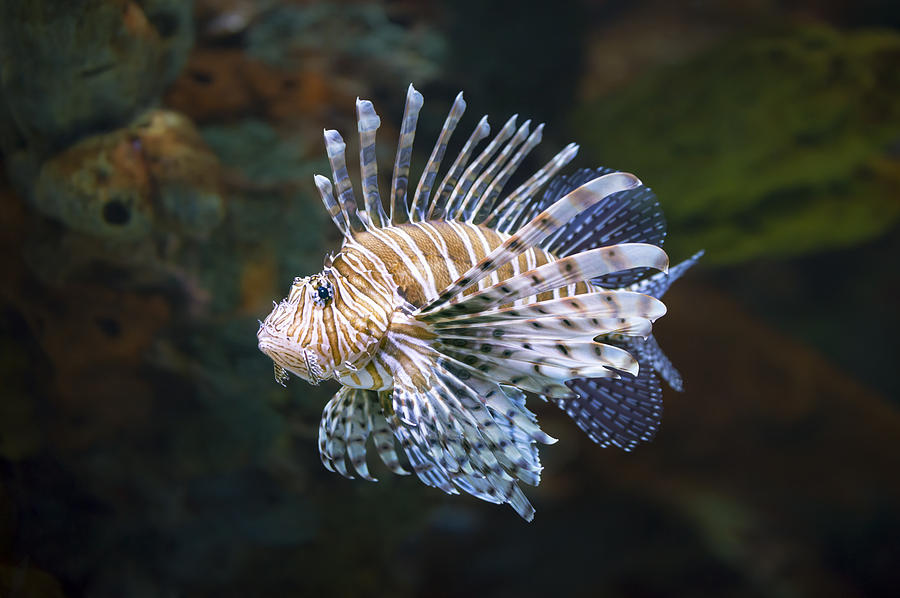 Lionfish Photograph - Lionfish - Gatlinburg Tn Ripleys Aquarium by Dave Allen