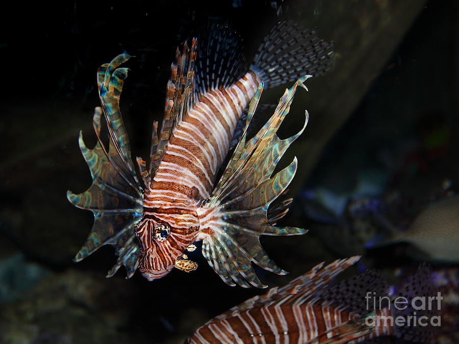 Lionfish 5d24143 Photograph
