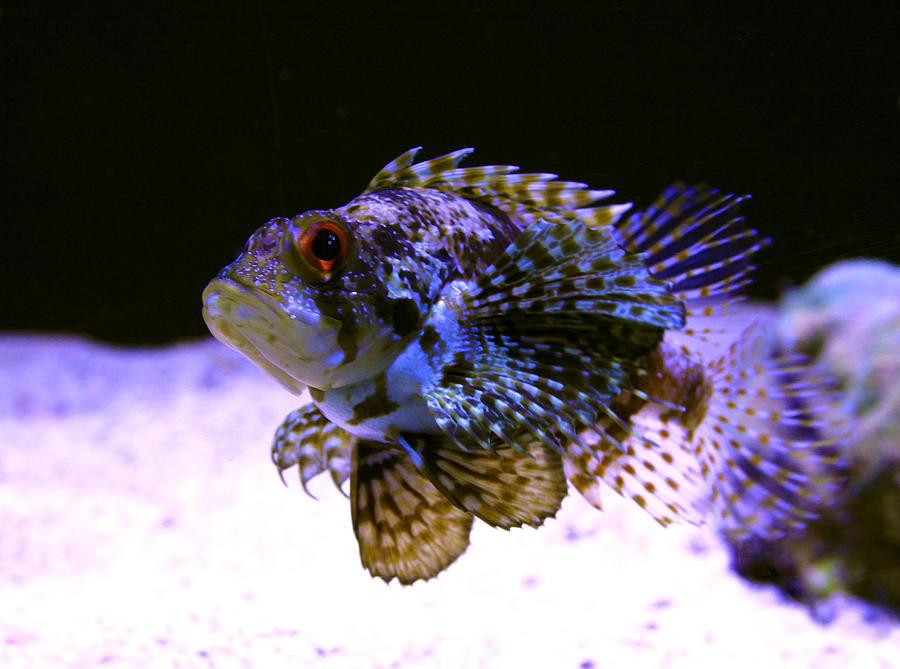 Lionfish Dendriochrius Barberi Photograph