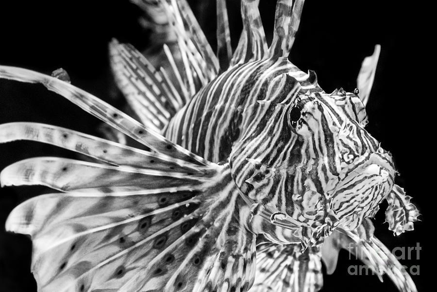 Lionfish Photograph