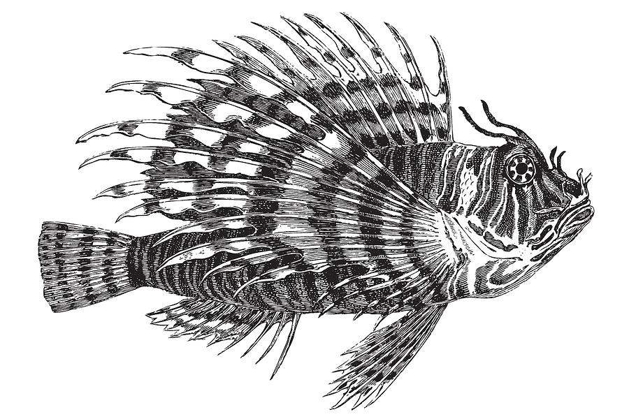 Red lionfish drawing