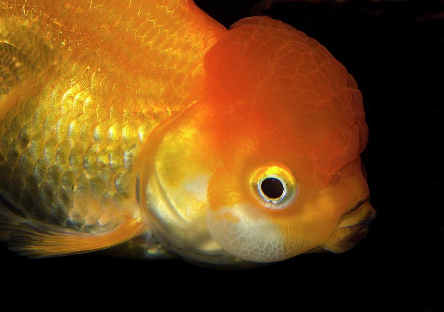 Giant lionhead goldfish