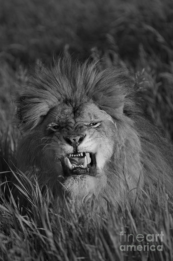 Lion Photograph - Lions Courage by Wildlife Fine Art