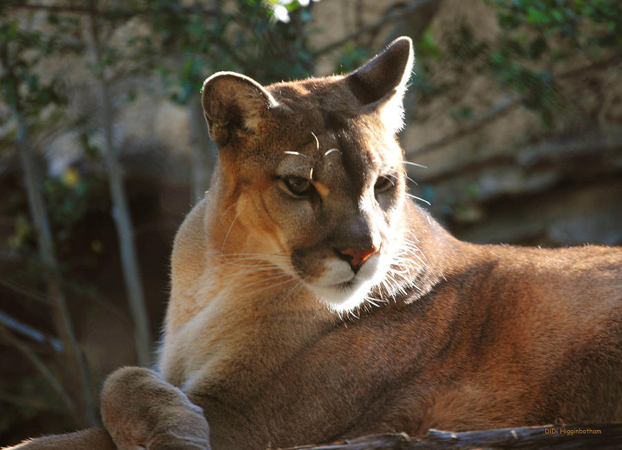 Cougar Photograph - Listening by DiDi Higginbotham