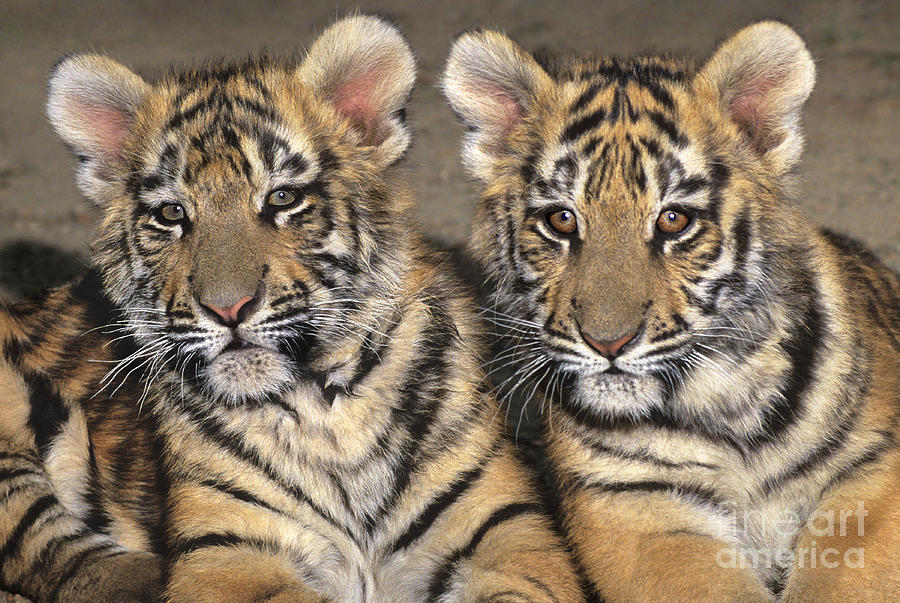 Y Tigers Are Endangered Little Angels Bengal T...