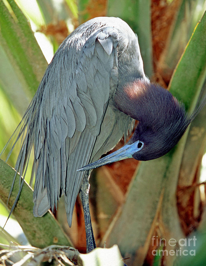 Little Blue Heron Male Preening Photograph