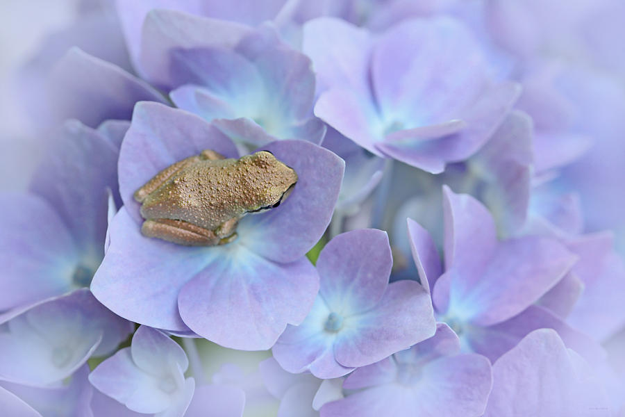 Little Brown Frog On Hydrangea Flower Photograph By Jennie