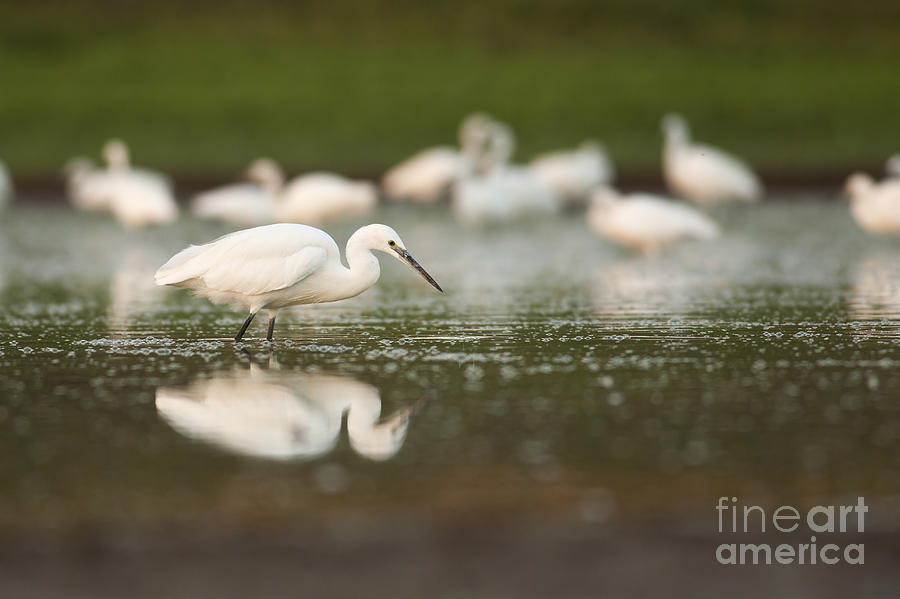 Little Egret Egretta Garzetta Photograph