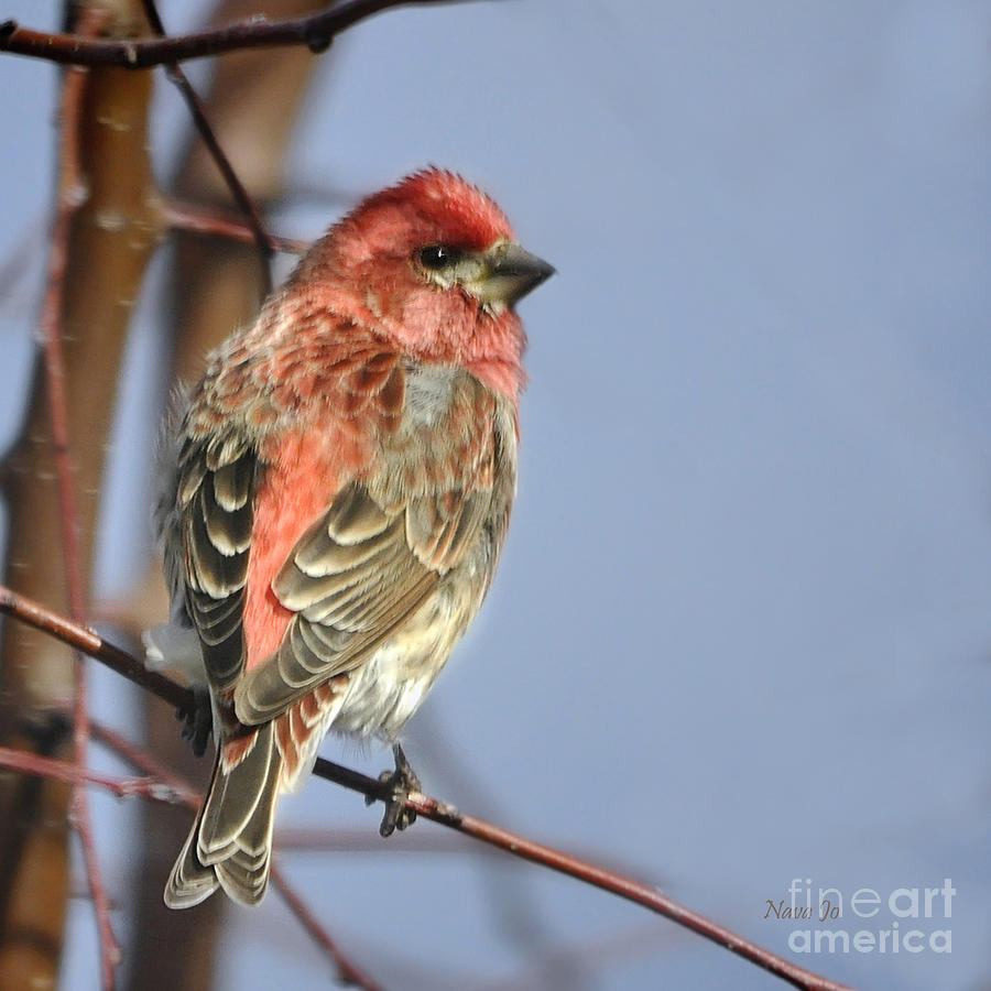 Little Finch Photograph  - Little Finch Fine Art Print