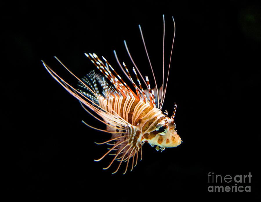Little Lionfish Photograph