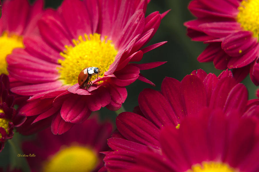Little Red Ladybug Photograph