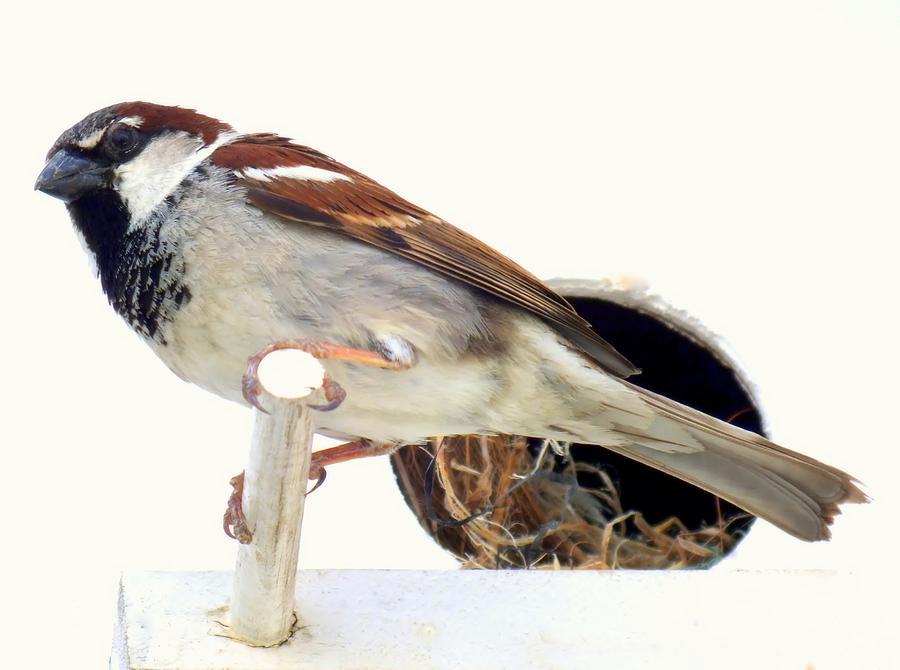 Little Sparrow Photograph
