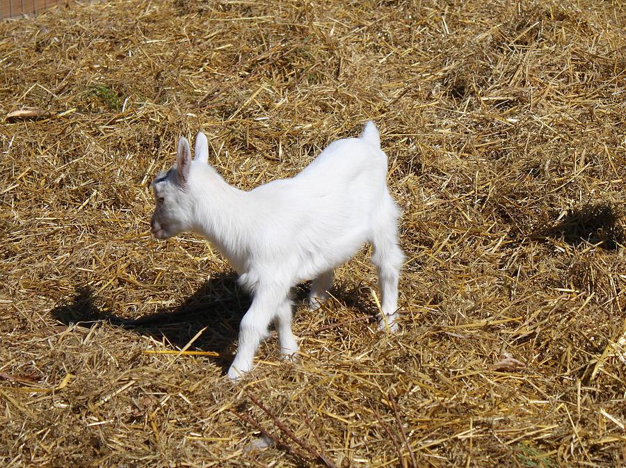 Little White Goat Photograph
