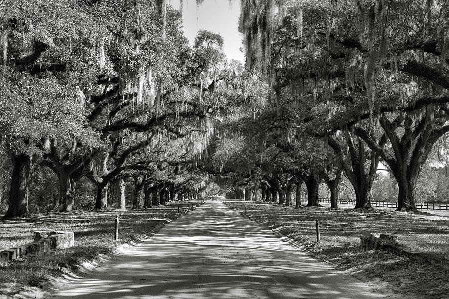 Live Oak Avenue II Photograph  - Live Oak Avenue II Fine Art Print