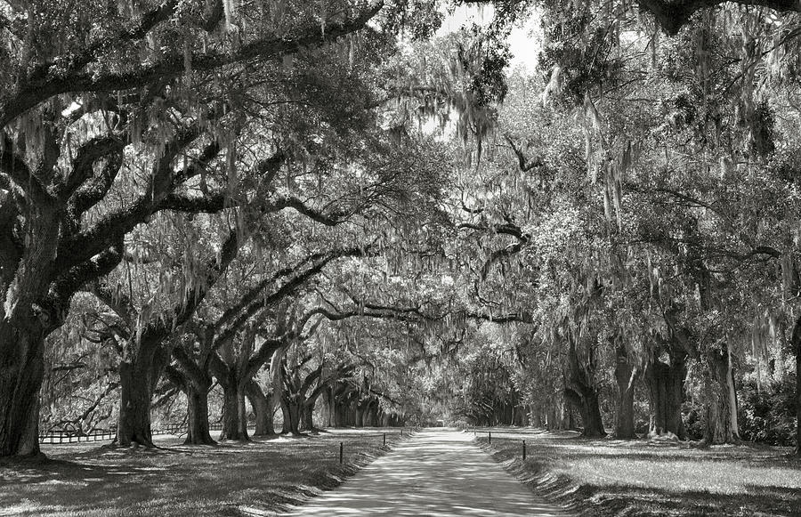 Live Oak Avenue Photograph  - Live Oak Avenue Fine Art Print