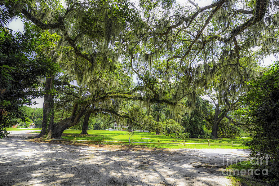 Live Oaks Dripping With Spanish Moss Photograph