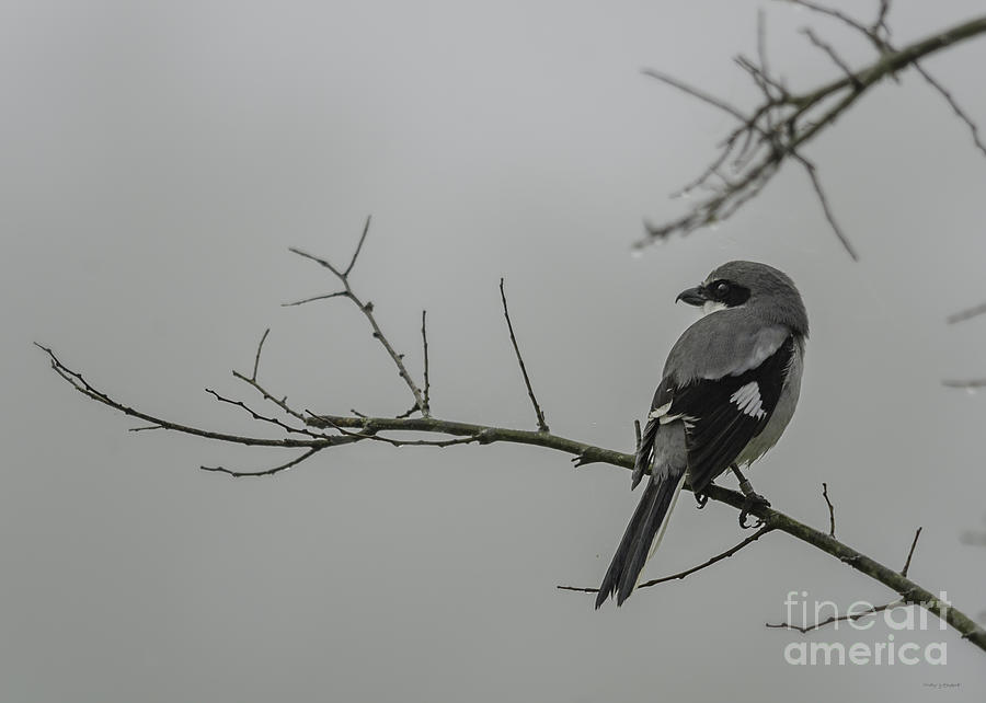 Loggerhead Shrike In Fog Photograph