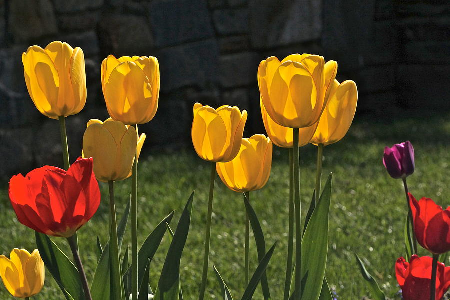 Lollipop Tulips And Grass And Stone Wall Photograph