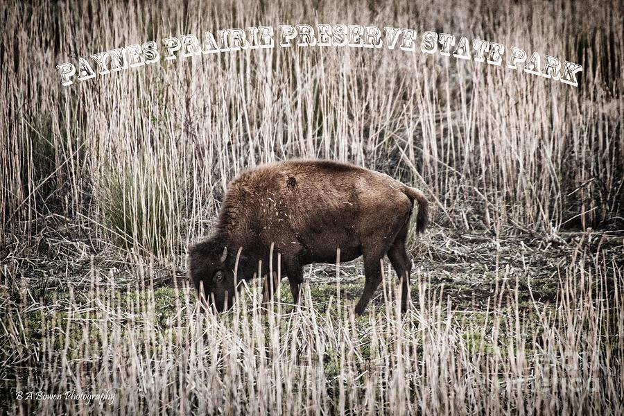 Lone Buffalo Photograph