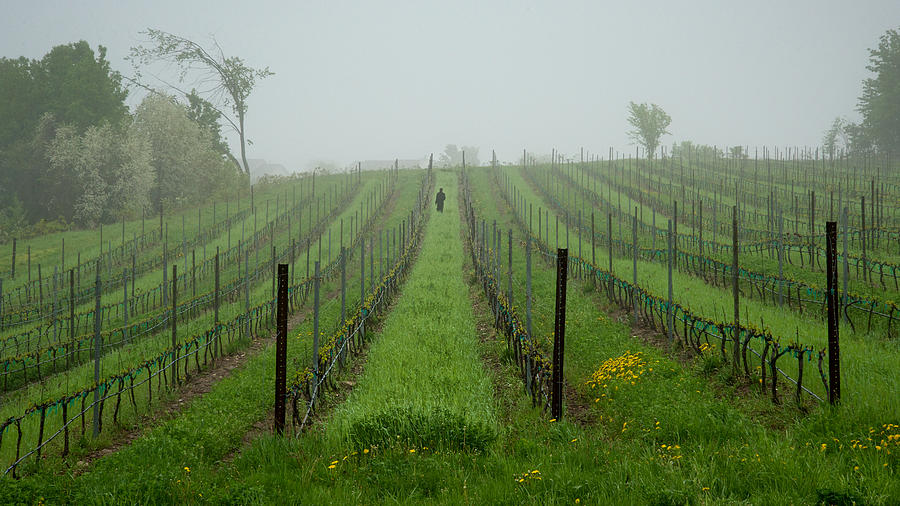 Vine Photograph - Lone Figure In Vineyard In The Rain On The Mission Peninsula Michigan by Mary Lee Dereske