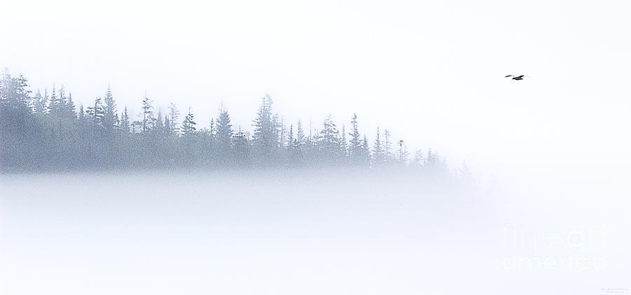 Lone Gull In Fog Photograph  - Lone Gull In Fog Fine Art Print