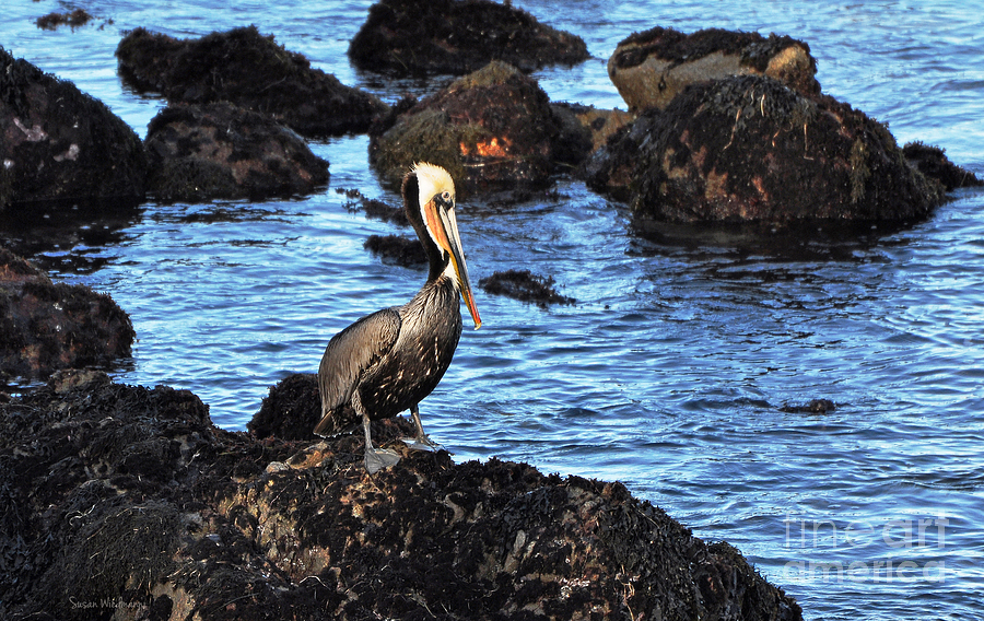 Lone Pelican On Rocks Photograph