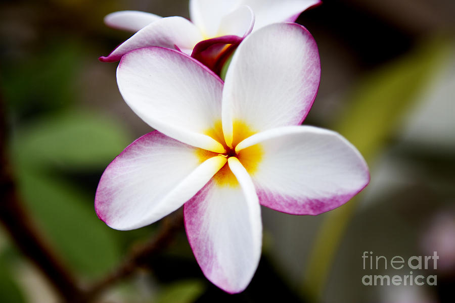 Pink Plumeria Photograph - Lone Plumeria by Thanh Tran