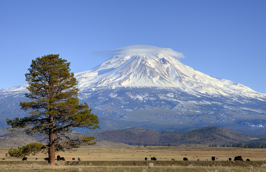 Lone Tree And Mount Shasta Photograph