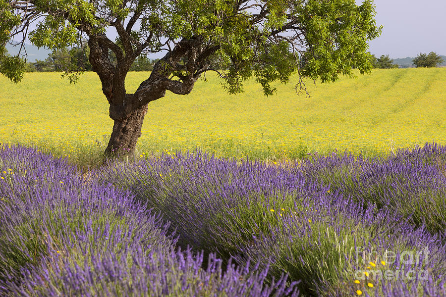 Aroma Photograph - Lone Tree In Provence by Brian Jannsen