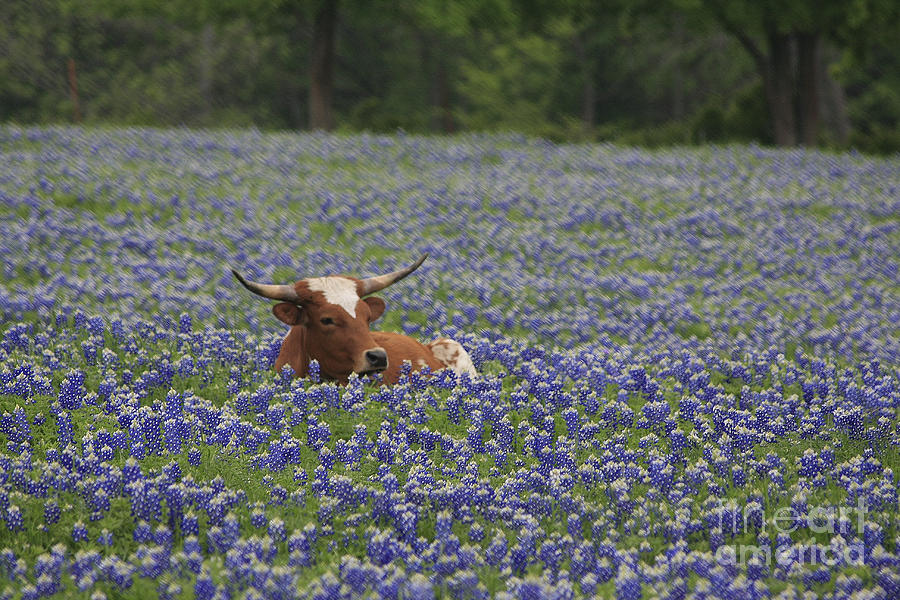 Longhorn Photograph - Longhorn In Bluebonnets by Jerry Bunger