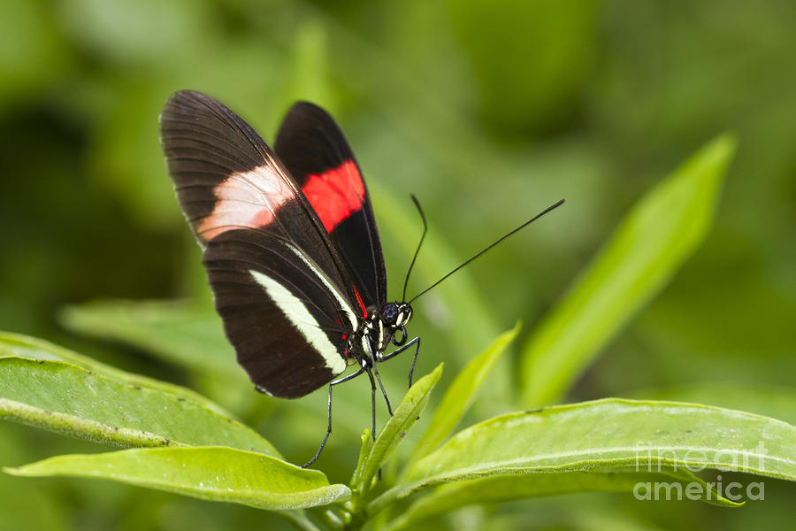 Long Wing Photograph - Longwing On A Leaf by Bryan Keil