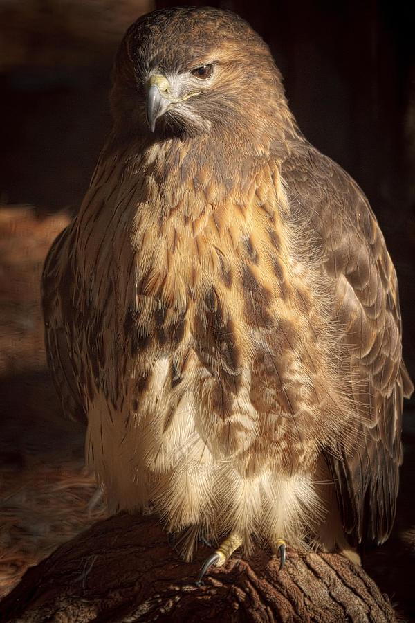 Red Tail Hawk Photograph - Looker by Cheri McEachin