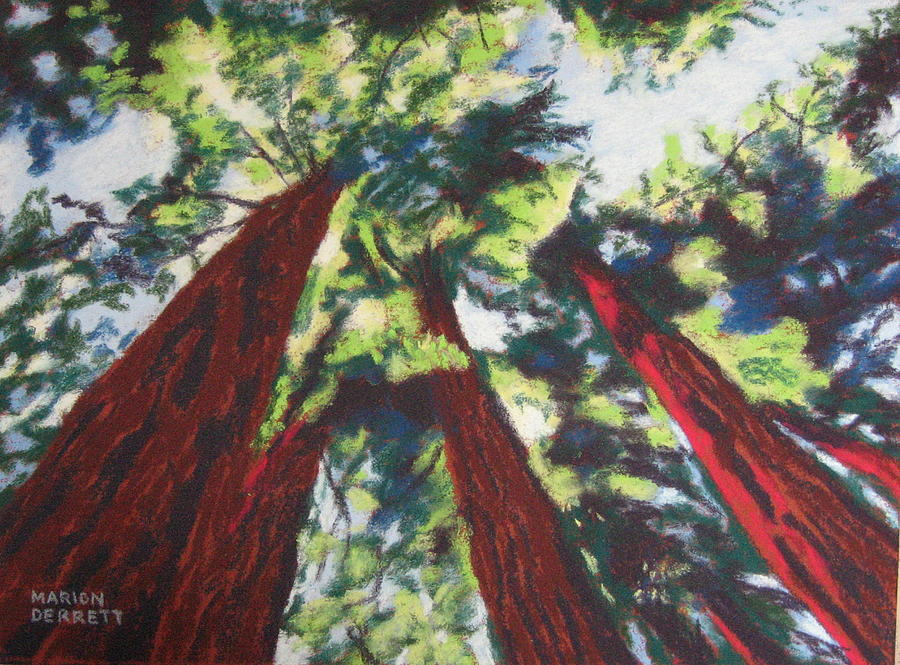 Looking Up At Redwoods Pastel  - Looking Up At Redwoods Fine Art Print
