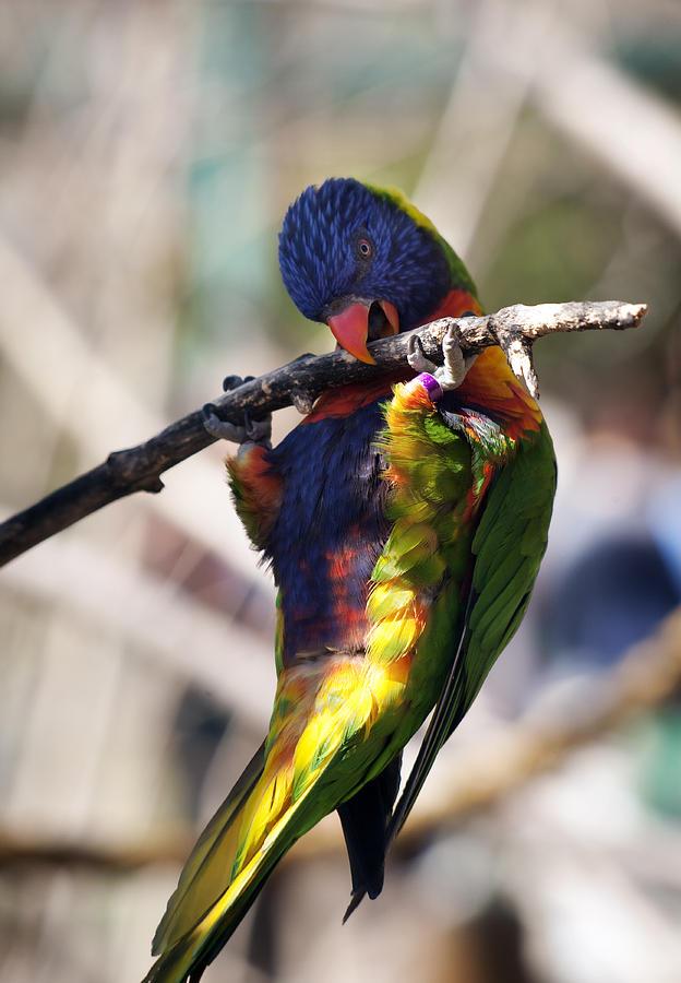 Lorikeet Bird Photograph