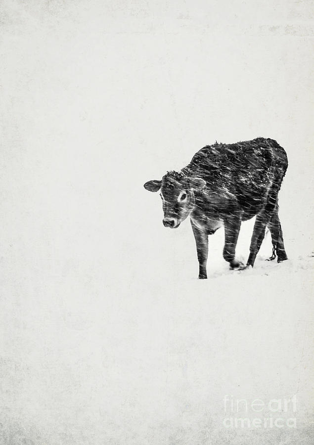 Lost Calf Struggling In A Snow Storm Photograph