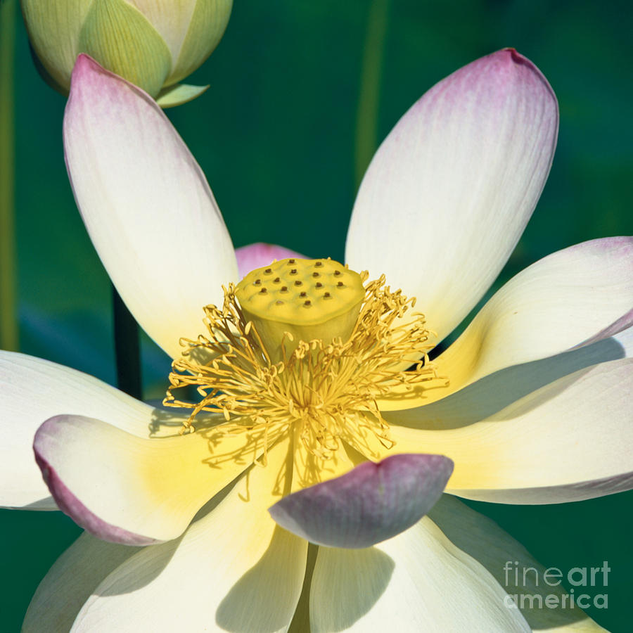 Lotus Photograph - Lotus Blossom by Heiko Koehrer-Wagner