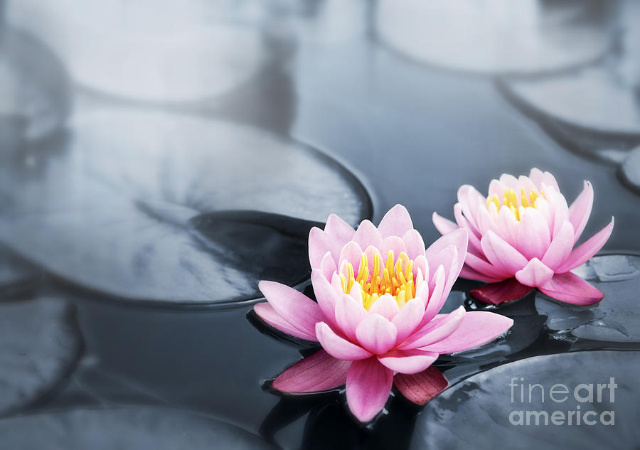 Lotus Blossoms Photograph