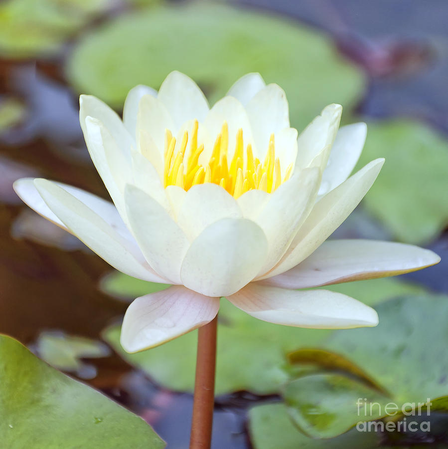 Lotus Flower 02 Photograph