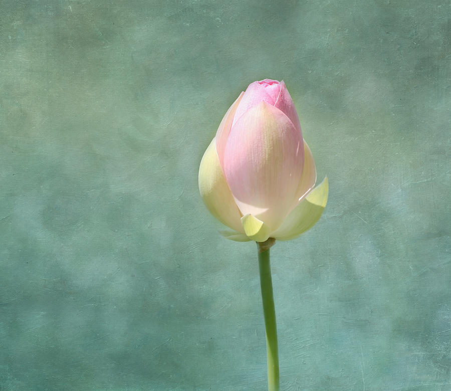 Lotus Flower Bud Photograph